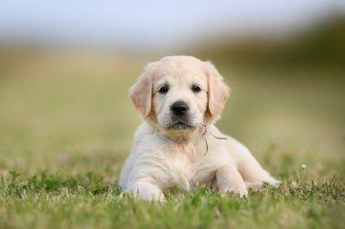 Yellow pedigree golden retriever puppy