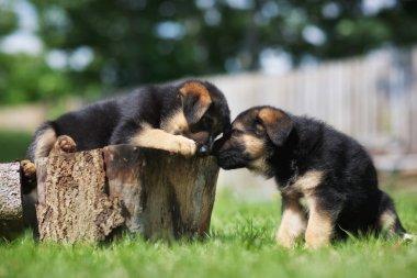 Two german shepherd puppies having fun
