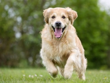 Golden Retriever dog running outdoors in nature