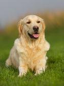 Zlatý retrívr pes na slunečný den