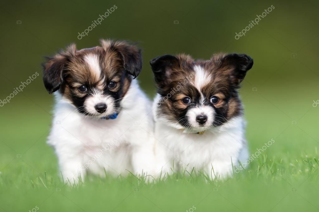 Zwei Junge Papillon Hund Welpen Stockfoto Bigandt 85020970