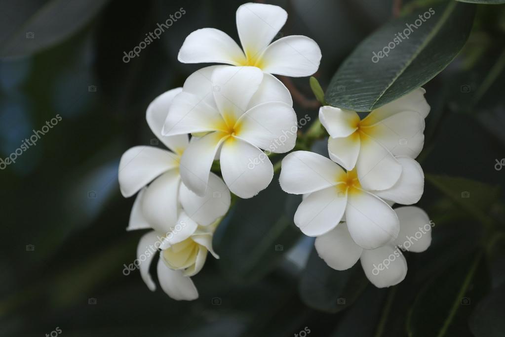 weiße Plumeria oder Frangipani Blume Blüte auf Baum — Stockfoto ...