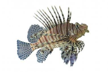 Lionfish or Pterois volitans coral reef tropical fish,Lionfish h