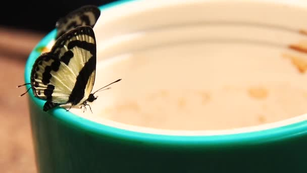 Close up of Elbowed Pierrot Butterflies or Caleta Elna licking coffee from a coffee cup during camping in the wilderness