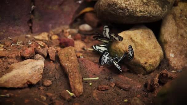 Eurema hecabe butterflies salt licking during the breeding season