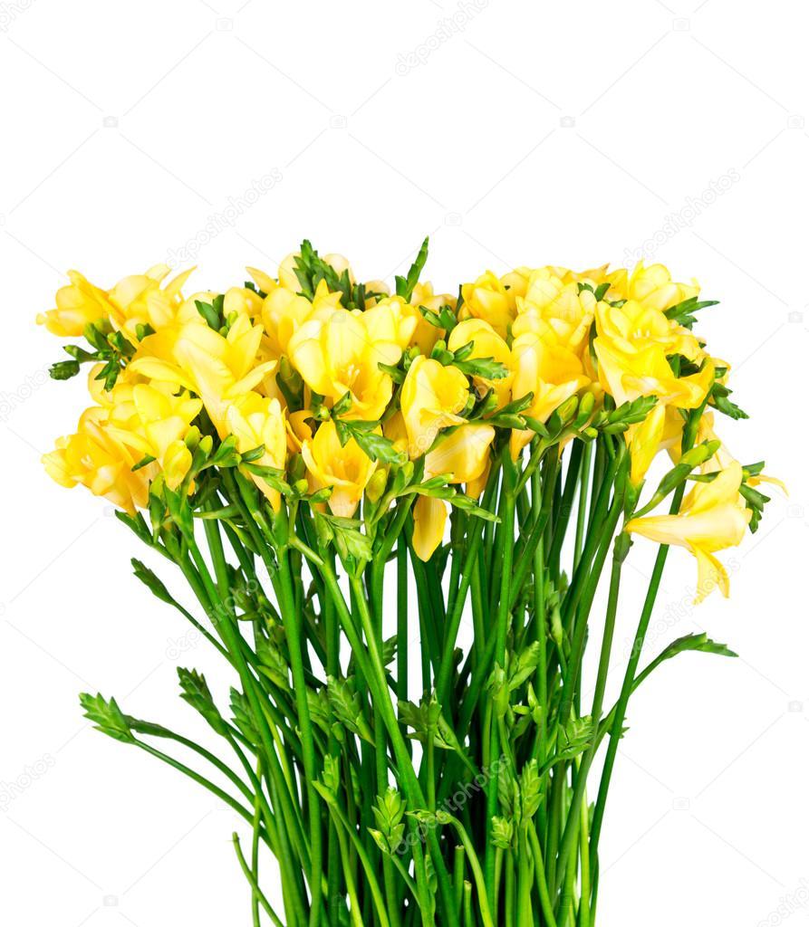 Yellow Freesia Flowers Isolated Stock Photo Vitalyr 92331686