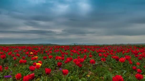 Mraky nad polem červené tulipány