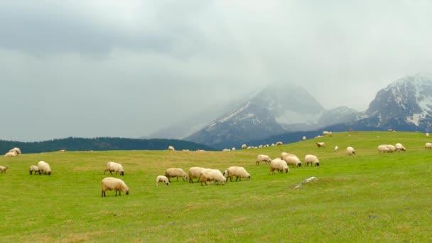 Weidepanorama im Montenegro, Schafe grasen