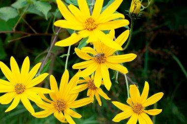 """Картина, постер, плакат, фотообои """"иерусалим артишоки завод и пыльца желтый цветок цветы красивые в саду для травяных лекарств. печать картины"""", артикул 429395256"""