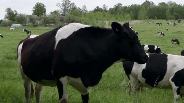 fekete-fehér tehén közelkép belenéz a keretbe, és megnyalja az ajkait. Tanyasi táj tehenek legeltetésével egy zöld réten. szarvasmarha legelő a területen a nap folyamán.