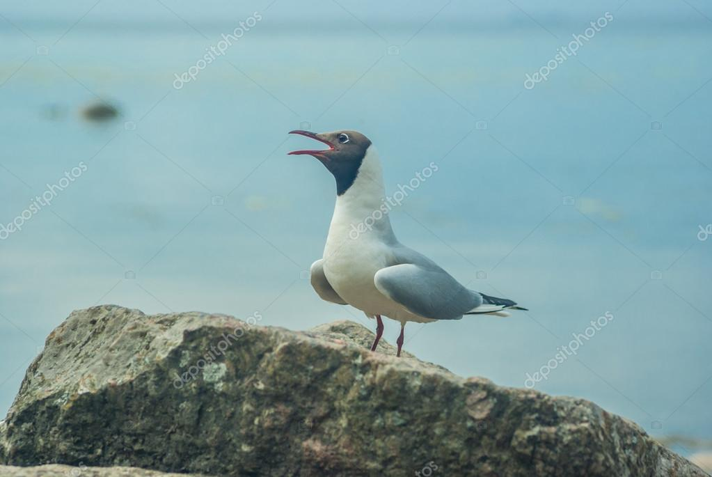 The white Seagull