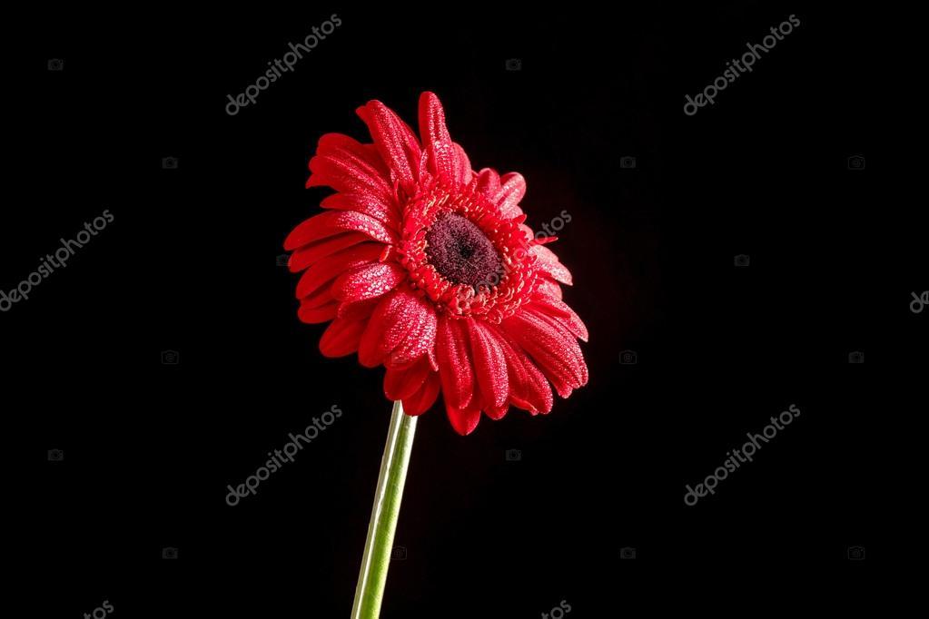 Fiore Rosso Gerbera Con Acqua Scende Su Sfondo Nero Foto Stock