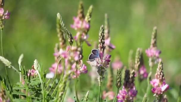 kék kis káposzta pillangók másznak át rózsaszín