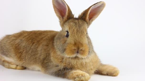 Kleine flauschige handgemachte häusliche braune Kaninchen liegt auf weißem Hintergrund