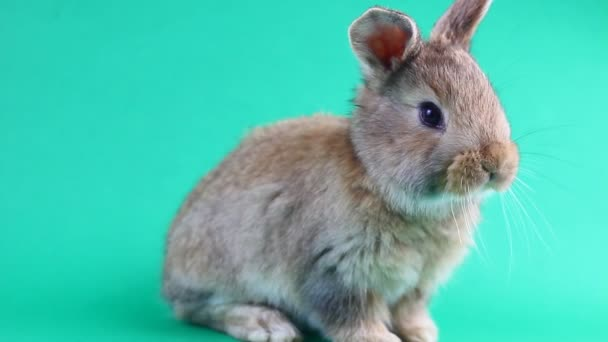 Hnědý roztomilý chlupatý hnědý králík sedí na zeleném pozadí a kroutí ušima a nosem