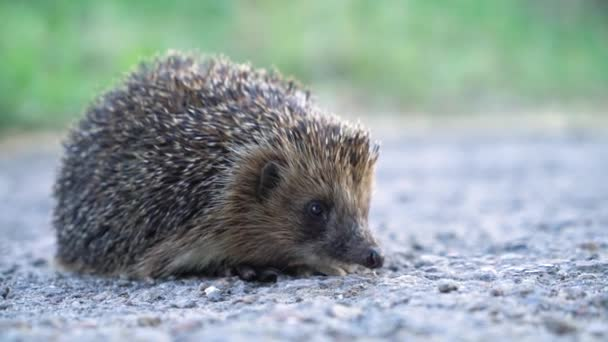 small shy prickly hedgehog cautiously looks around on a sunny summer day