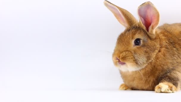 brown little fluffy bunny sits and wiggles ears and nose on a solid gray background