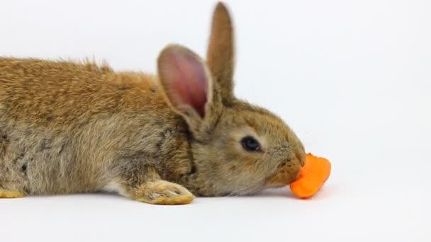malý načechraný roztomilý hnědý králík sedí a jí oranžové čerstvé mrkve zblízka na šedém pozadí ve studiu