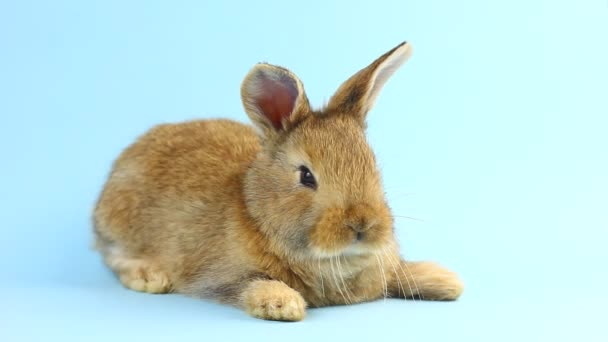 a small fluffy brown handmade rabbit lies on a pastel blue background