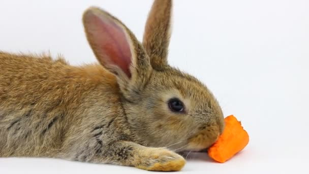 little fluffy cute brown rabbit sits and eats orange fresh carrots close-up on a gray background in the studio.