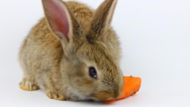 kis bolyhos aranyos barna nyúl ül, és eszik narancssárga friss sárgarépát közelkép szürke háttér a stúdióban