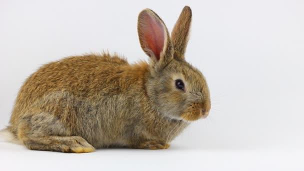 roztomilý zvědavý malý nadýchaný hnědý králík sedí na šedém pozadí zblízka.