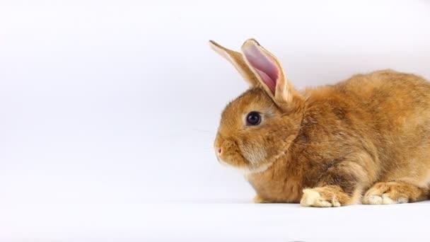 barna kis bolyhos nyuszi ül és mozog fülek és orr szilárd szürke háttér