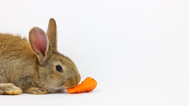 little fluffy cute brown rabbit with big ears eating a ginger carrot on a gray background in the studio