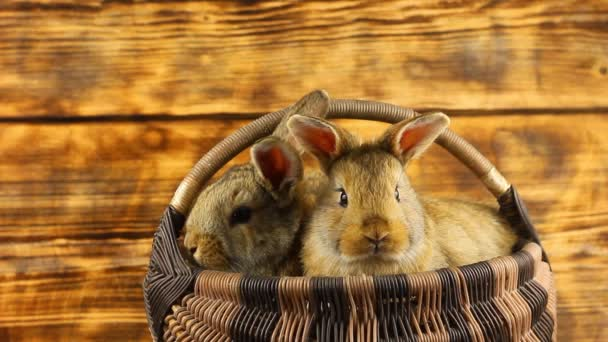 two cute fluffy affectionate brown bunnies sit in a wicker basket and wiggle their ears. Easter bunnies for the religious holiday of Easter