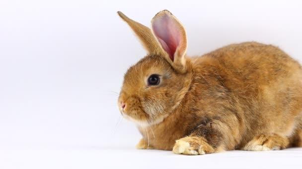 braunes kleines flauschiges Häschen sitzt und wackelt mit Ohren und Nase auf einem soliden grauen Hintergrund
