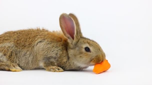 kis bolyhos aranyos barna nyúl nagy fülek eszik egy gyömbér sárgarépa szürke háttér a stúdióban
