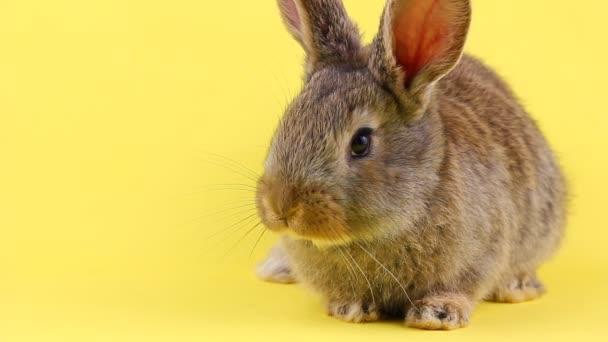 ein neugieriges ruhiges, flauschiges braunes Kaninchen sitzt auf gelbem Betthintergrund in einem Vorhangplan