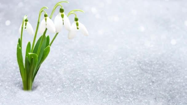 sněhové kapky na začátku jara zpod sněhu s místem pro nápis .