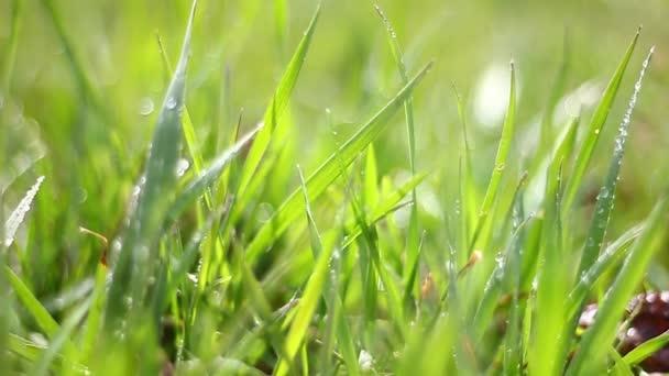 kis lédús zöld fű harmatcseppekkel a háttérben, gyönyörű boke.