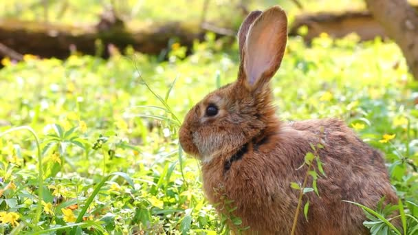brown fluffy domestic rabbit with big ears sits on a green meadow in the spring season close-up, Easter bunny for Easter.