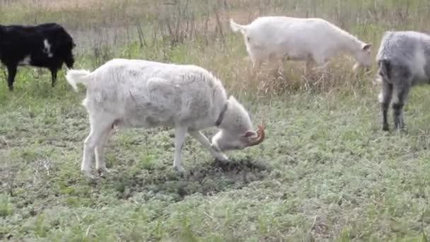 a tanyasi kecskék csordája legel a zöld tavaszi réten napsütéses időben, középső lövés