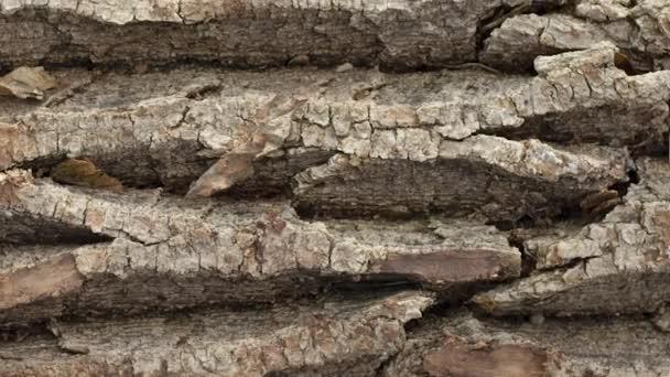 Textur der Rinde eines rauen Baumes, Nahaufnahme. Zeitlupe