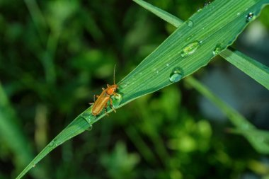 The common soldier beetle (Latin: Cantharis rufa), is a species of soldier beetle (Cantharidae) on a green leaf daylilies. Soft selective focus.