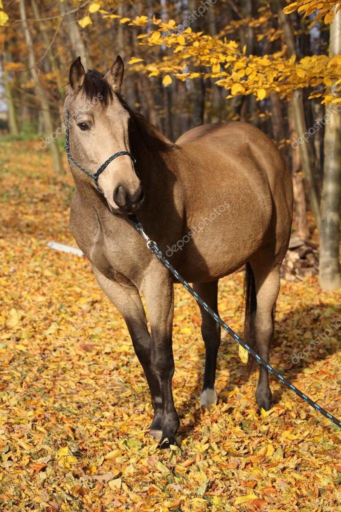 Quarter horse with rope halter in autumn