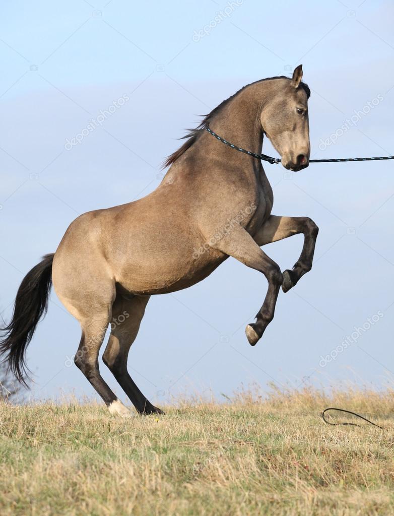 Beautiful bay quarter horse prancing