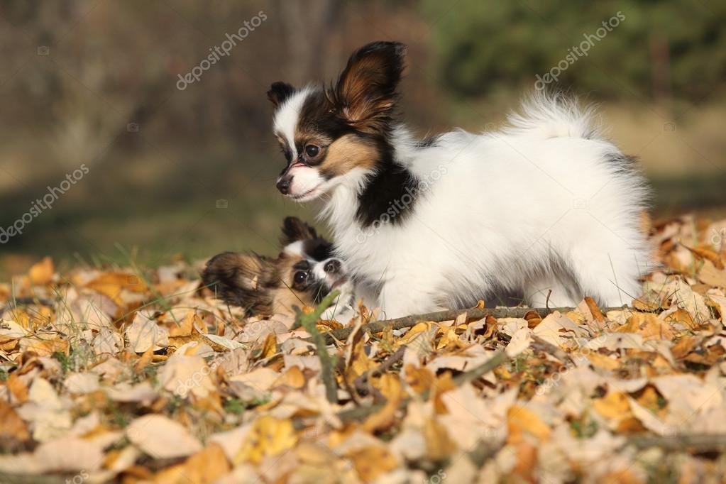 Fantastic Papillon Canine Adorable Dog - depositphotos_71505017-stock-photo-adorable-papillon-puppies-playing-together  HD_32562  .jpg