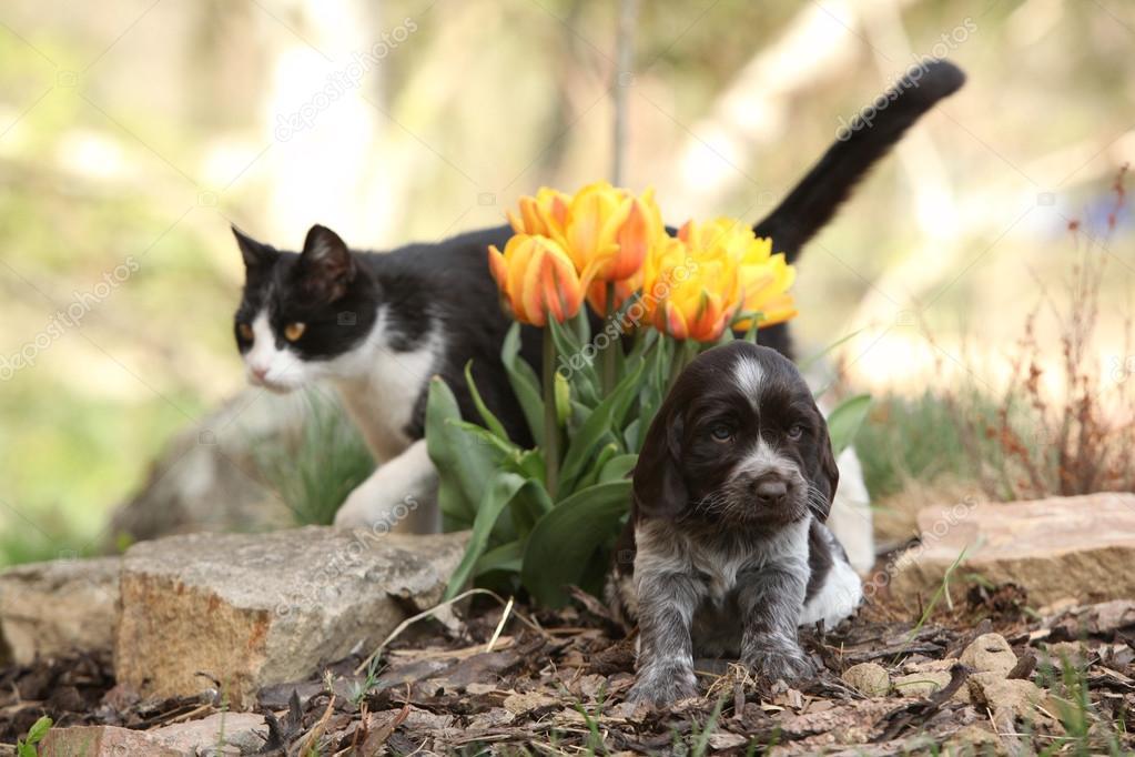 Cucciolo Di Cane Quaglia Tedesco Con Il Gatto In Giardino Foto