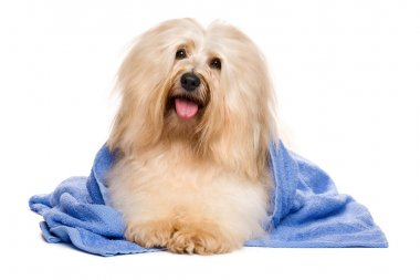 Beautiful reddish havanese dog after bath lying in a blue towel