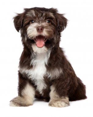 Funny laughing chocholate havanese puppy dog