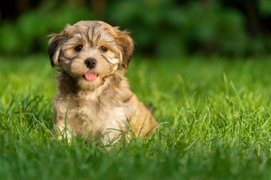 Happy little havanese puppy dog is sitting in the grass