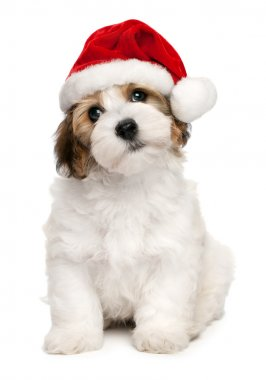 Cute Christmas havanese puppy dog