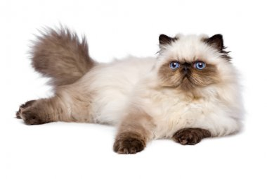 Cute 3 month old persian seal colourpoint kitten is lying