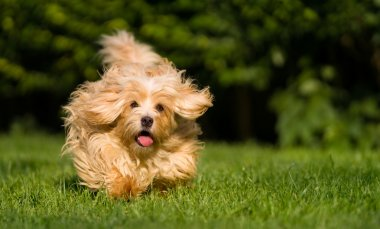 Happy orange havanese dog running towards camera in the grass