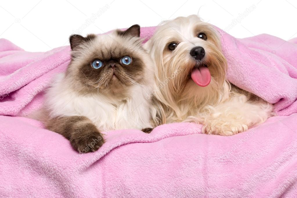 Young persian cat and a happy havanese dog lying on a bedspread