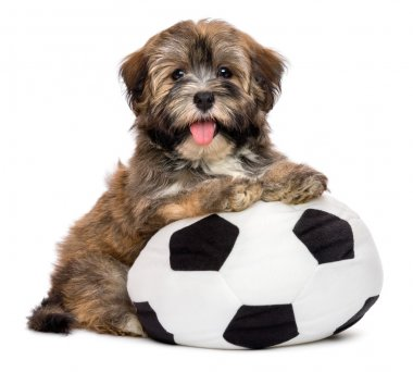 Cute happy havanese puppy dog playing with a soccer ball toy